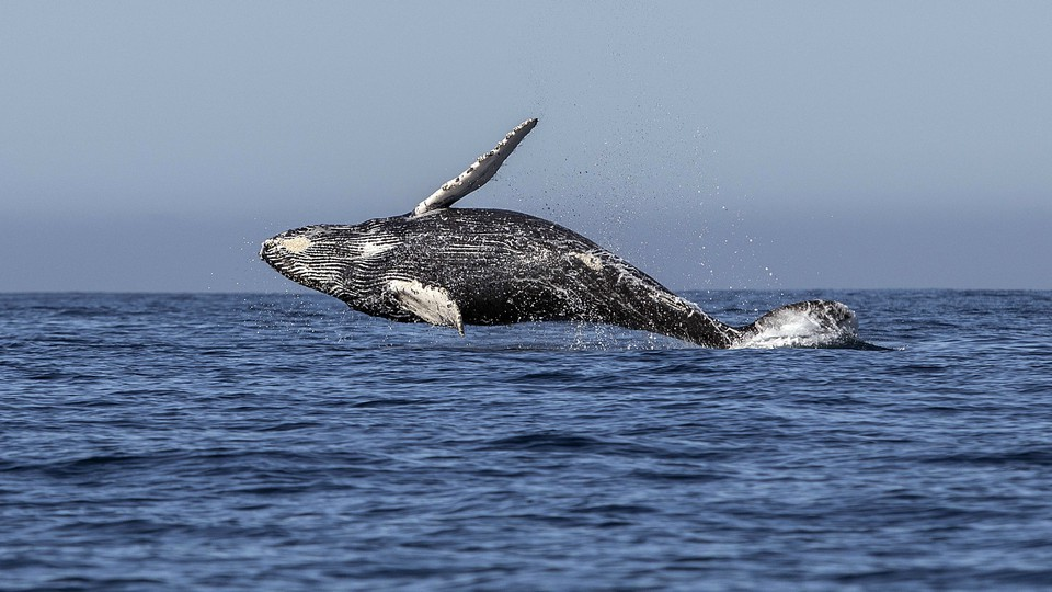 A humpback whale jumps out of the ocean.