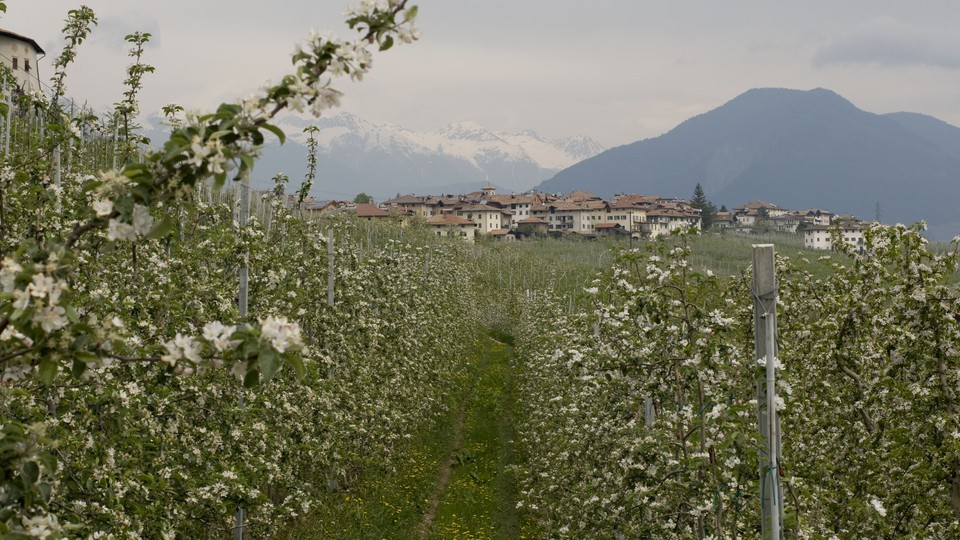 An orchard in Trentino, Italy