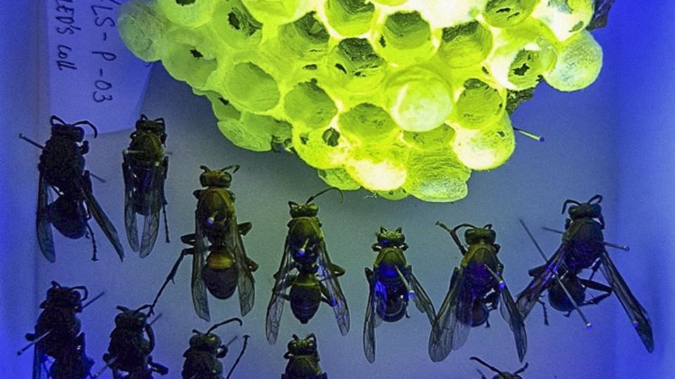 a paper-wasp nest under UV light, glowing fluorescent green