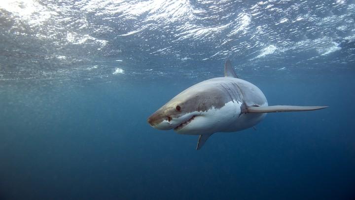 A great white shark swimming underwater