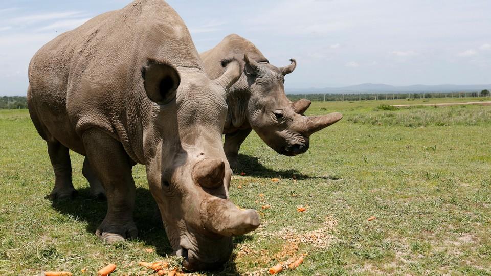 Two northern white rhinos