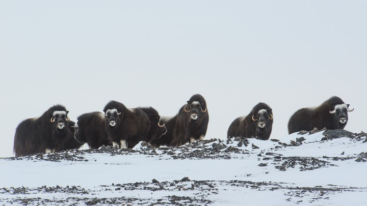 A herd of musk ox
