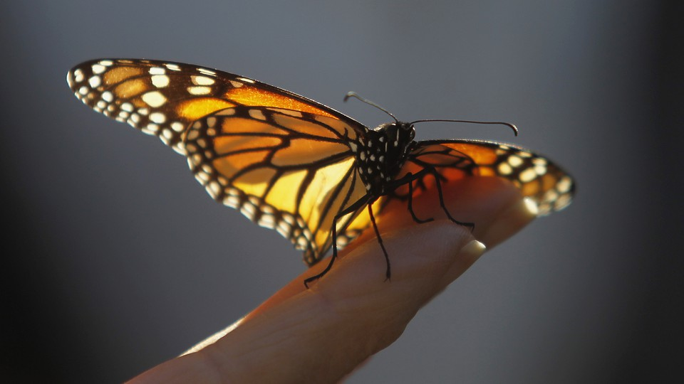 A monarch butterfly rests on a hand.