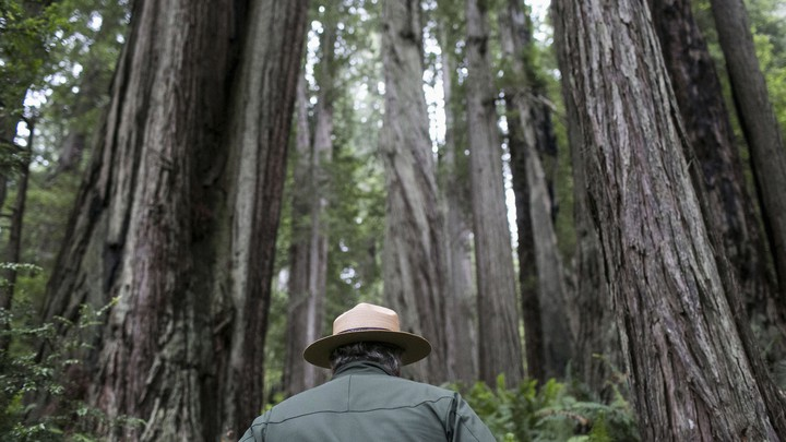A park ranger with his back toward the camera walks through a forest.