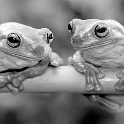 Two frogs looking at each other on a branch.