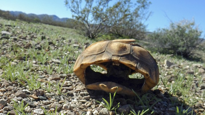 The remains of a desert tortoise near Joshua Tree National Park, in California's southern desert.