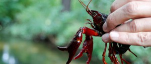 A hand holding a red swamp crayfish.