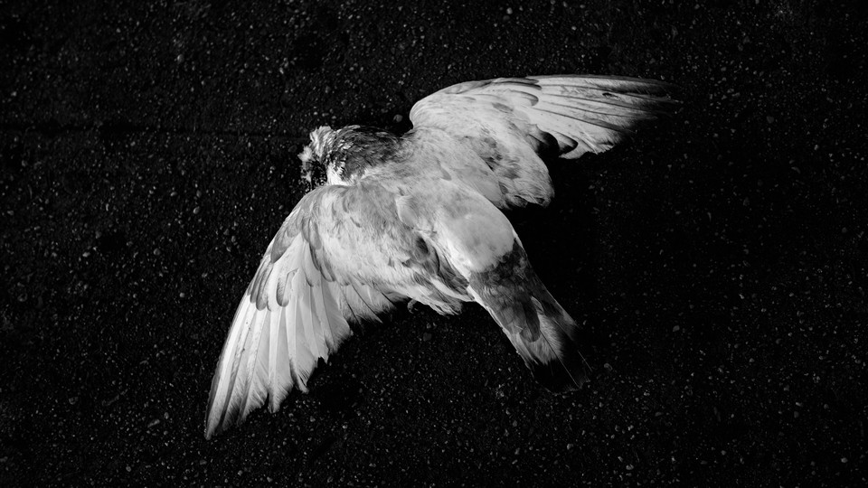 A dead white pigeon on pavement