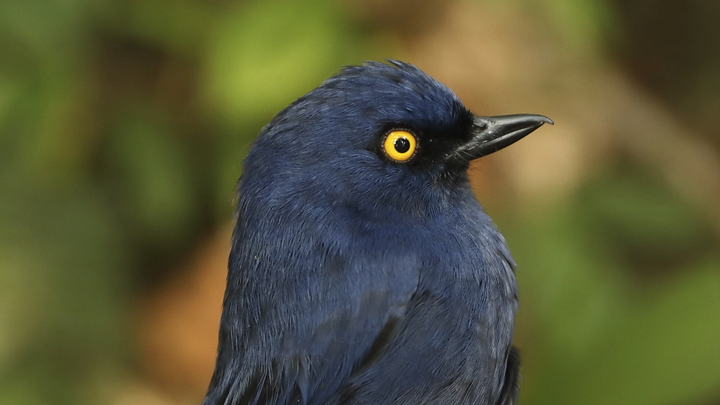 A deep-blue flowerpiercer
