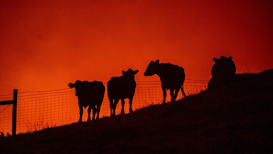 Cows stand on a field as fire approaches them atop a hillside.