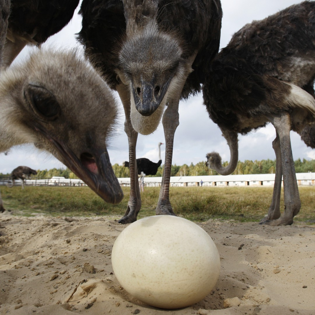 Why Are Bird Eggs Egg Shaped The Atlantic