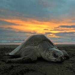 A sea turtle on a beach