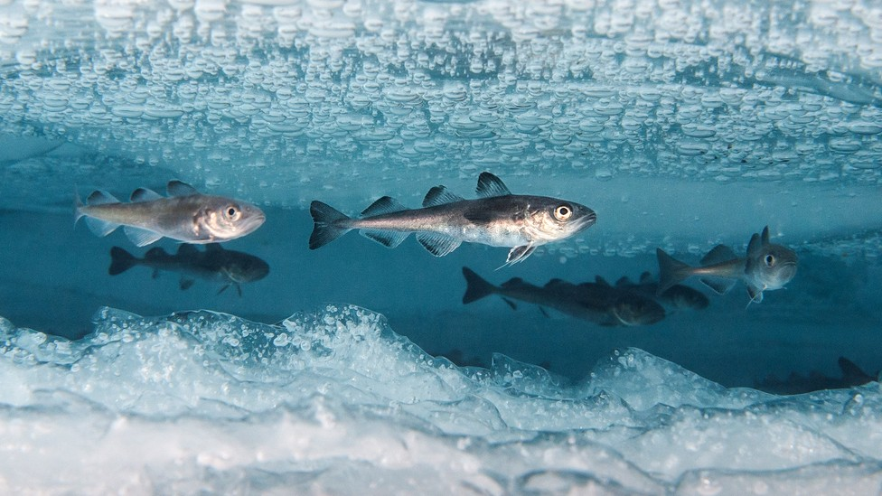 Cod under Arctic ice