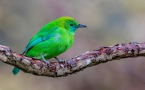 The blue-winged leafbird of Southeast Asia gets its iridescent hues from structural colors.