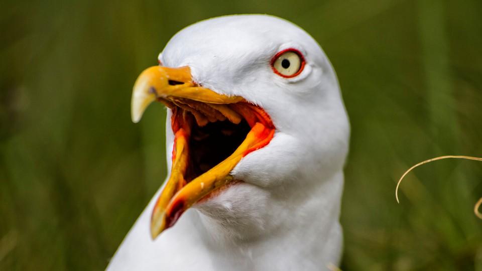 A shouting European herring gull