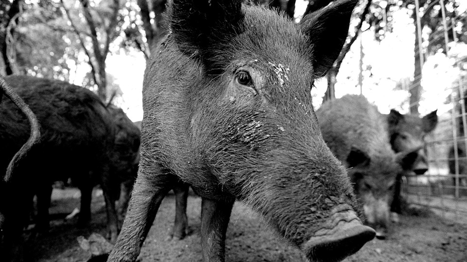 A black-and-white photo of a feral hog.