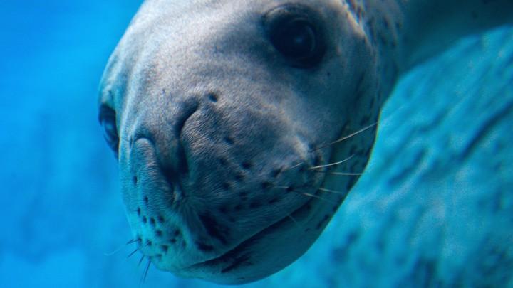 Brooke, a leopard seal, at Sydney's Taronga Zoo