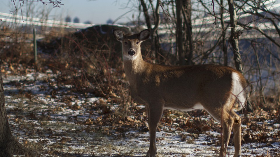 A white-tailed deer stands in front of the George Washington Bridge at Fort Lee, New Jersey.
