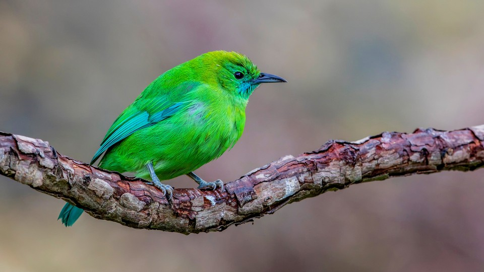 A bright-green blue-winged leafbird of Southeast Asia rests on a branch.