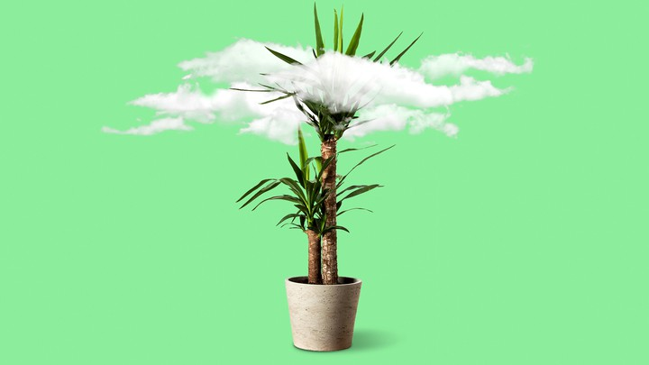 A ficus tree sits against a plain background, with a dirty-looking cloud in its leaves.