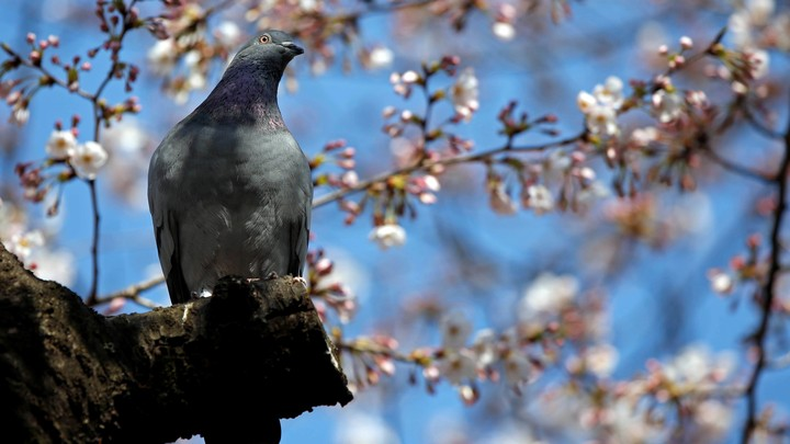A bird perches among blooming cherry blossoms.