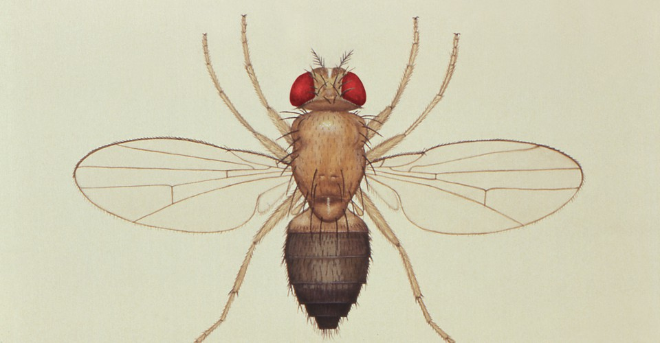 Fruit Flies And Their Importance In Genetics Research The Atlantic