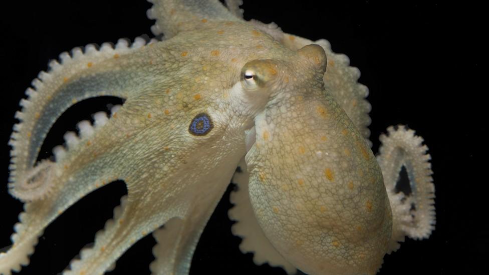 A Californian two-spot octopus