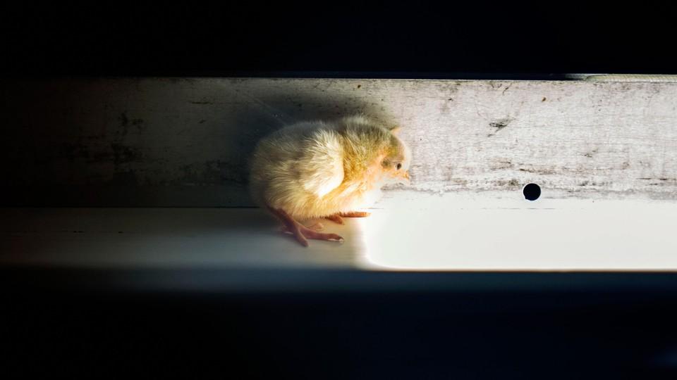 A chick on a conveyor belt