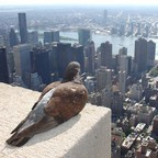 A pigeon overlooks New York City