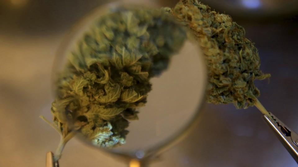 Marijuana plants are examined under a magnifying glass.