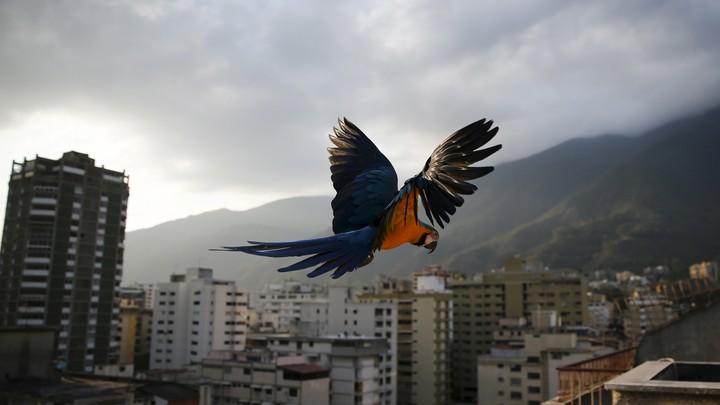 A macaw flies over Caracas