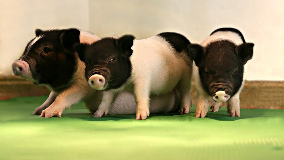 Three black and white piglets