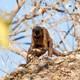 A monkey holding a rock