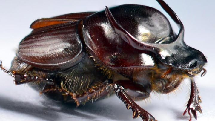 A taurus scarab