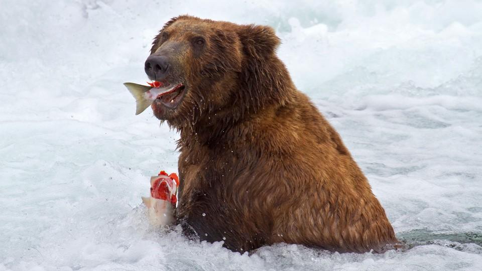 A bear eating fish