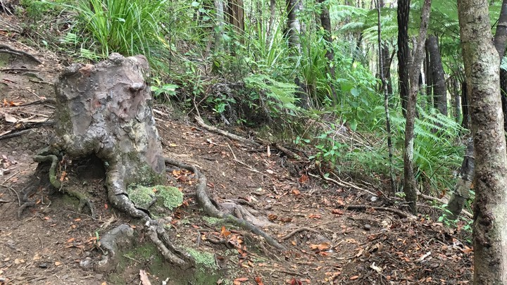 A living kauri stump