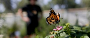 A photo of a monarch butterfly perched on a pink flower.