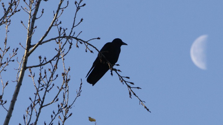 A crow in a tree next to a half-moon.