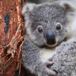 A young koala looks toward the camera.