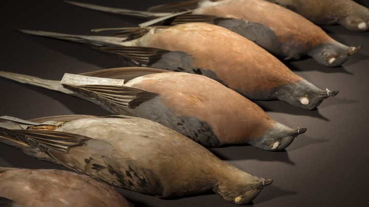 Taxidermied passenger pigeons