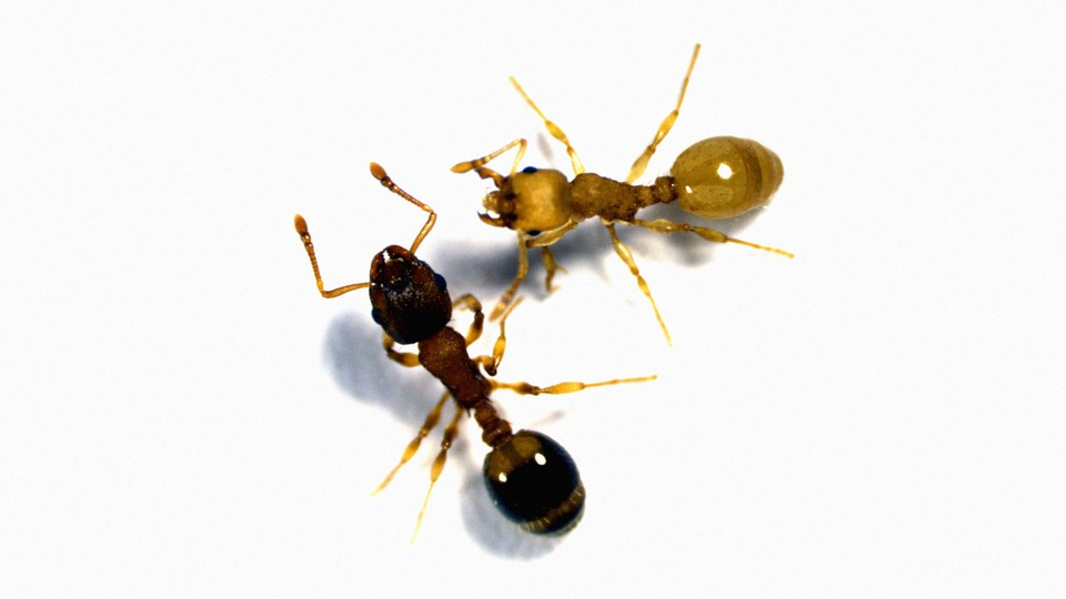 Temnothorax ants, one of which is infected by a tapeworm