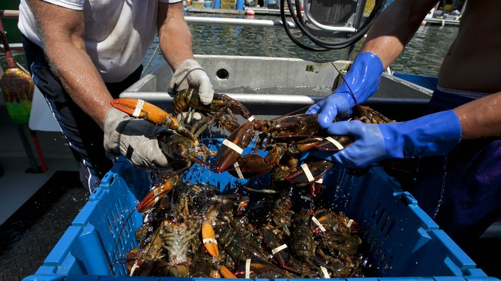 Four gloved hands pull lobsters from a bin.
