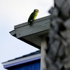 A red-crowned parrot perches on the roof of an apartment building behind a palm tree.