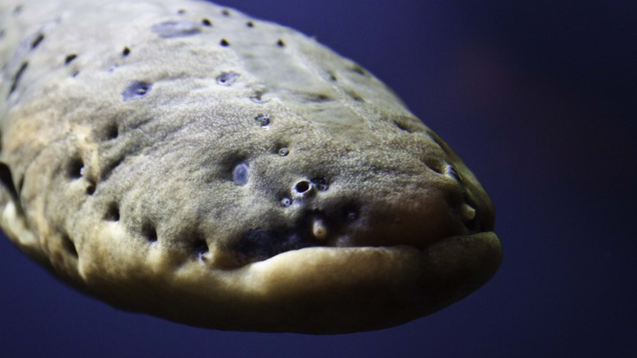 A Scientist's Shocking Discovery About Electric Eels - The Atlantic