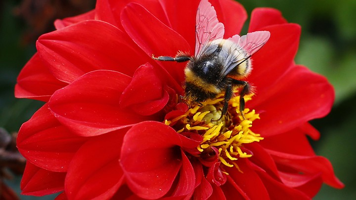 A bee collects pollen from a flower.