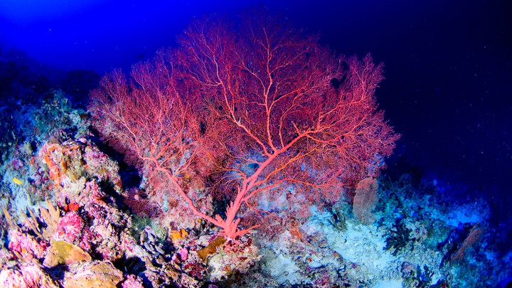 A coral in the mesophotic zone