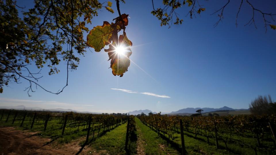The sun shining over a vineyard