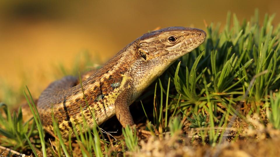 the Psammodromus algirus lizard, or the Algerian sand racer