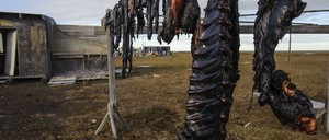 Seal meat drying at a native hunting camp outside Barrow, Alaska.