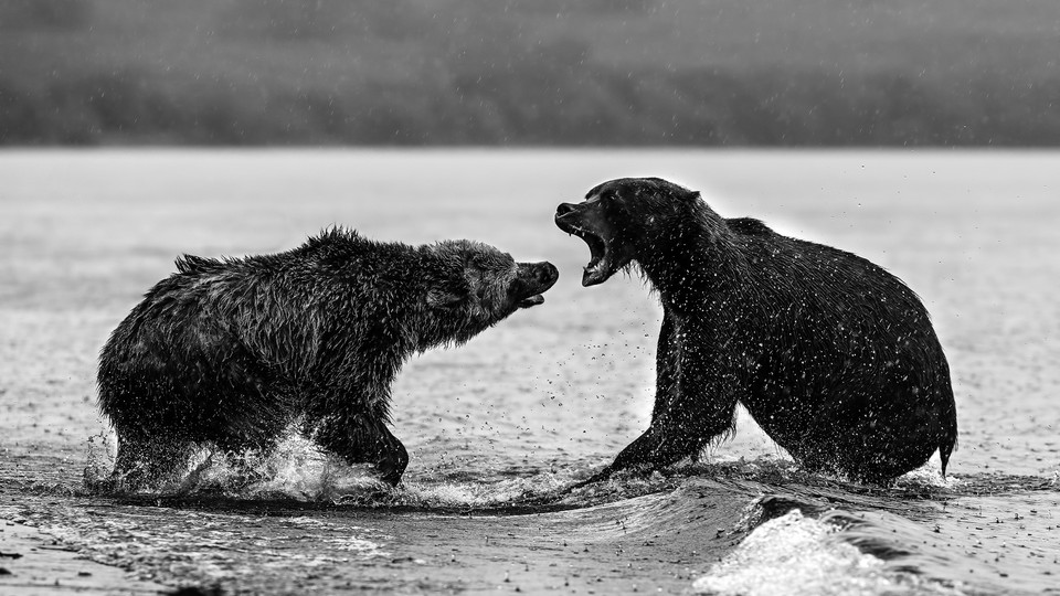 brown bears fighting in a lake in Russia